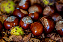 A Group Of Conkers From The Horse Chestnut (Aesculus Hippocastanum) With And Without Husks
