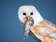 Close Up Of A Barn Owl With A Mouse