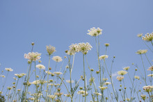 White Flowering Umbels And Buds Of Wild Carrot Against A Bright Blue Sky In A White Bloom Meadow Of Daucus Carota