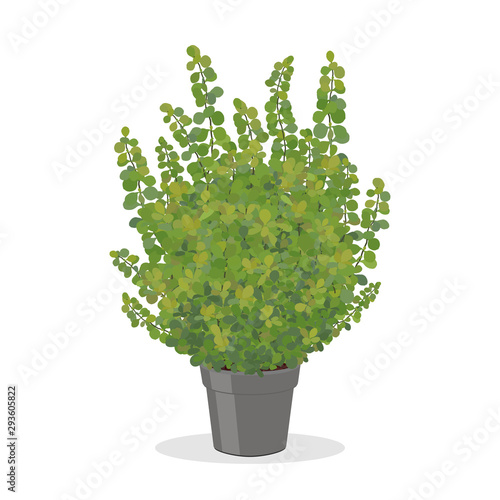 Bright green barberry bush growing in the pot. Wallpaper Mural