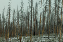 New Growth After A Forest Fire