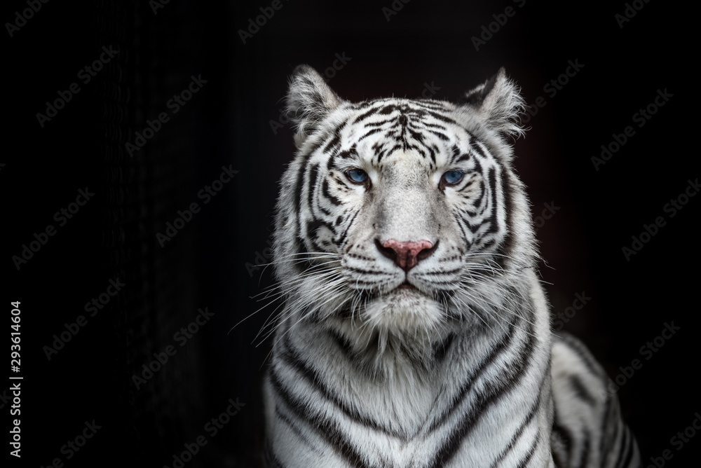 Fototapeta Tiger Bengal white variation. Beautiful female white tiger.
