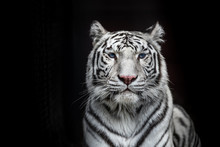Tiger Bengal White Variation. Beautiful Female White Tiger.