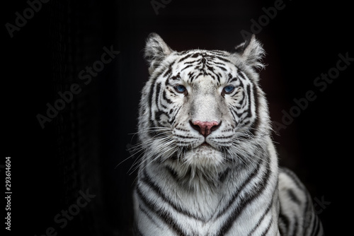 Fotografia Tiger Bengal white variation. Beautiful female white tiger.