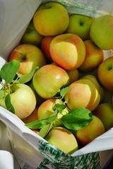 Freshly picked apples with leaves