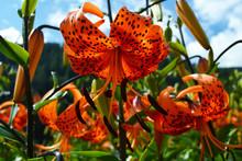 Giglio / Lilium Arancione