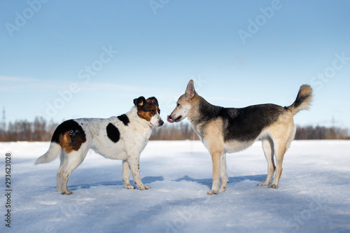 Two dogs meeting and getting acquainted on winter day Wallpaper Mural