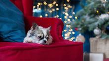 Chihuahua Dog Near Cristmas Tr...