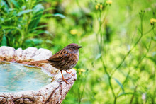 Dunnock On A Bird Bath