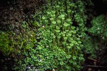 Macro Closeup Cyan Lichen In G...