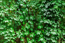 Virginia Creeper In The Forest