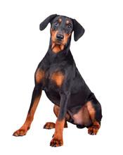 Sitting Doberman Pinscher Puppy