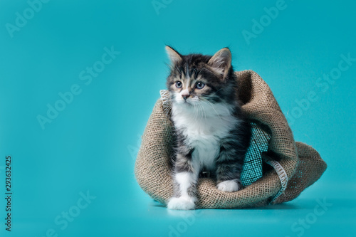 Fotografía  tabby kitten gets out of the sack on a turquoise background