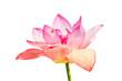 Leinwanddruck Bild - Pink lotus flower isolated on white background