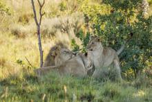 Lion Pride ( Panthera Leo) Pla...