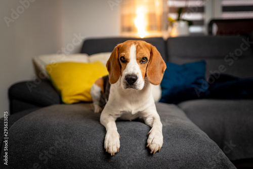 Purebred beagle lying on sofa looking towards camera. - 293633875