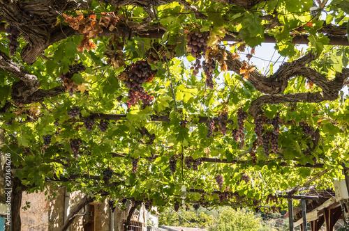 Red vine of superium grapes on a pergola Fototapeta
