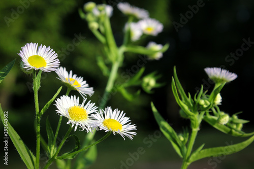 Bright Yellow and White Aster Blossoms With Green Leaves Against Dark Background Wallpaper Mural