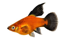 High Fin Red Wag Platy Xiphoph...