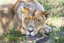Bored Lioness