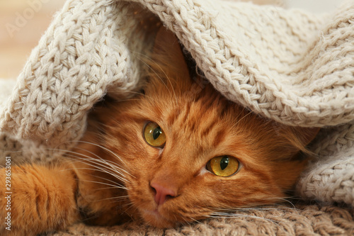 Adorable ginger cat under plaid at home. Cozy winter Fototapeta