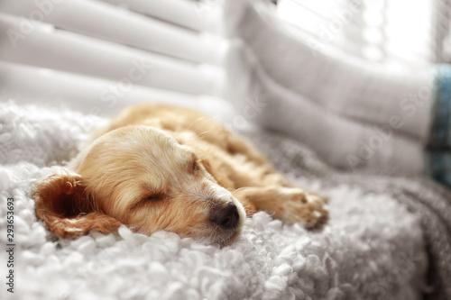 Cute English Cocker Spaniel puppy sleeping on plaid near window indoors Fototapet