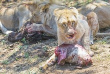 Lioness Eating Meat