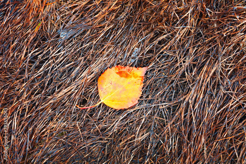 Photo Single wet autumn birchen leaf in dark deep brown tones grass