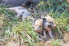 Three Mini Piglets