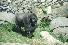 Western Lowland Gorilla In Zoo Foraging For Food Through Glass Enclosure. Animal Picks At Grass And Shrubs. Under Net Play Enclosure