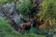 A Big Deer In The Roar Of The Forest, In Cantabria