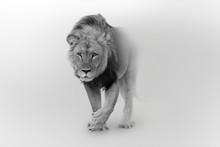 Lion Wildlife African Pride Walking Toward You
