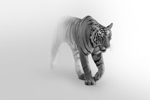 Tiger Walking Toward You In A ...
