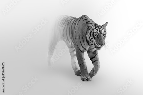 Photo sur Toile Tigre Tiger walking toward you in a foggy background