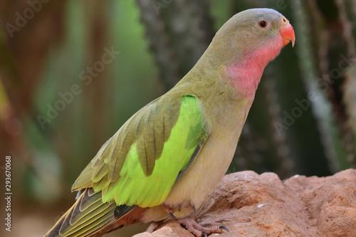 Portrait of a princess parakeet (polytelis alexandrae) perching on a rock Canvas Print