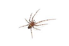 The European Cave Spider Meta Menardi Isolated On White Background
