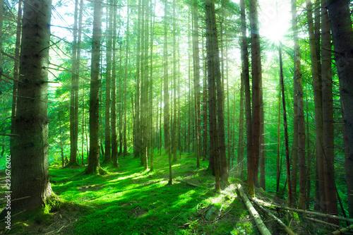 Fototapeta forest sunlight obraz na płótnie