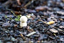 Single New White Mushroom Spro...