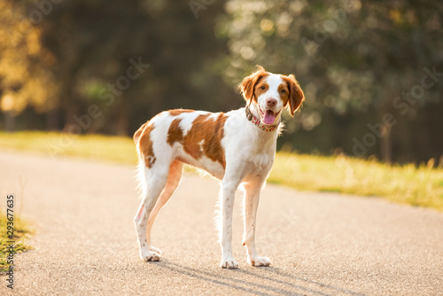 Photo White and brown a Brittany spaniel outdoors at the park during summer, natural p
