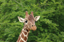 Close Headshot Of Giraffe Look...