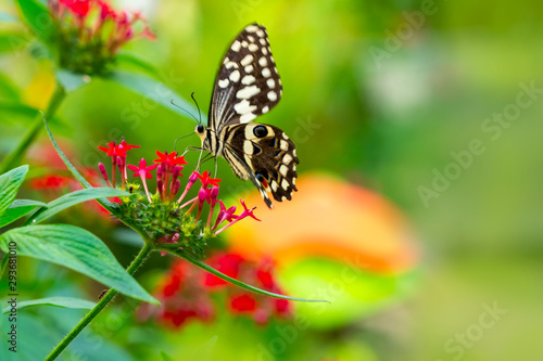 Photo sur Aluminium Papillon Closeup beautiful butterfly in a summer garden