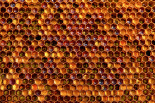 Background Texture And Pattern Of A Section Of Wax Honeycomb From A Bee Hive Filled With Golden Honey I