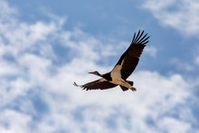 Big Bird White-bellied Stork, ...