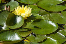 Yellow Water Lily In A Pond Ye...