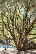 Large Oak Tree In The Middle O...