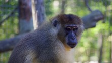 Allen's Swamp Monkey Search For Something. Looking. Profile