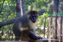Allen's Swamp Monkey Allenopithecus Nigrovirdis In Cleveland ZoonAllen's Swamp Monkey Allenopithecus Nigrovirdis In Cleveland Zoo
