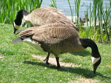 Two Canadian Geese On A Spring Day In Central Park In Manhattan, New York City, New York