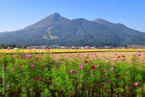コスモスと磐梯山(福島県・猪苗代町)