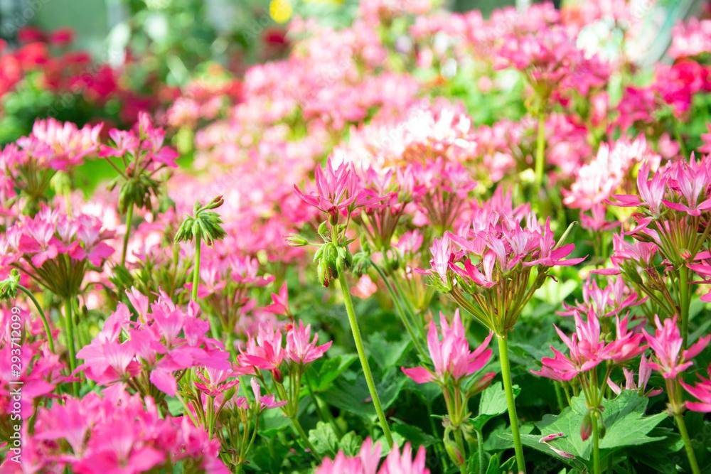 spider flower or Cleome spinosa flower background.
